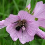 Bee&mallow-72