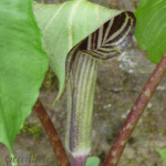SF Jack-in-the-Pulpit 275x300