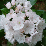 SF Mountain Laurel 275x300