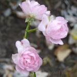 SF Rose,'The Fairy' 275x300