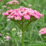 SF Yarrow, Pink 275x300