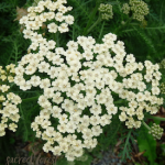SF Yarrow, White 275x300
