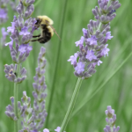 Bumblebee & Lavender small