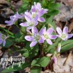 SF Spring Beauty 275x230