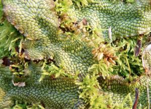 liverwort&moss