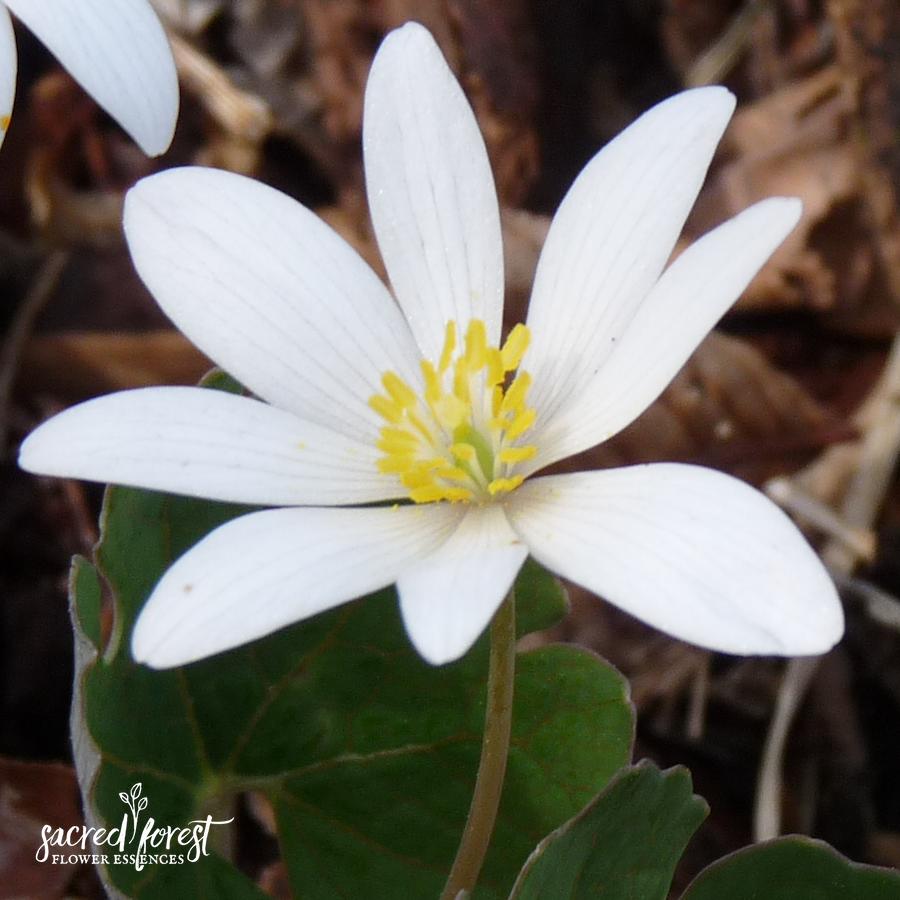 Bloodroot Flower Essence