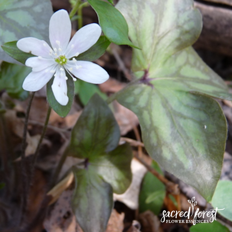 Hepatica Flower Essence Grandparents Of The Forest