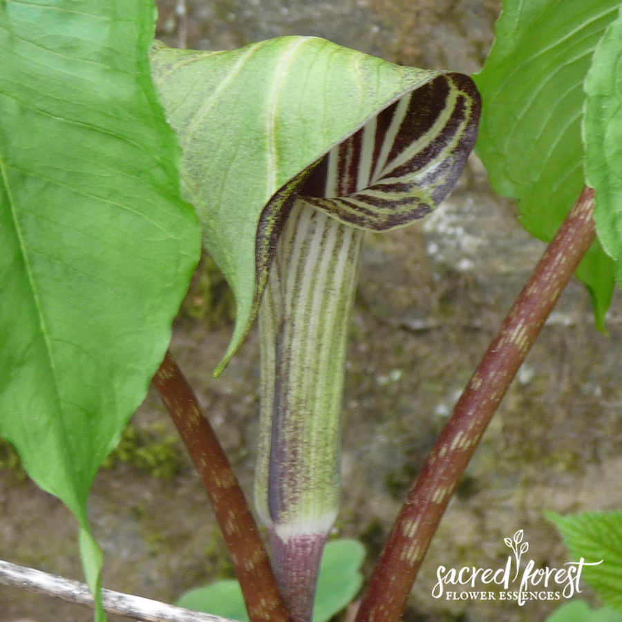 Jack In The Pulpit Flower Essence Grandparents Of The Forest