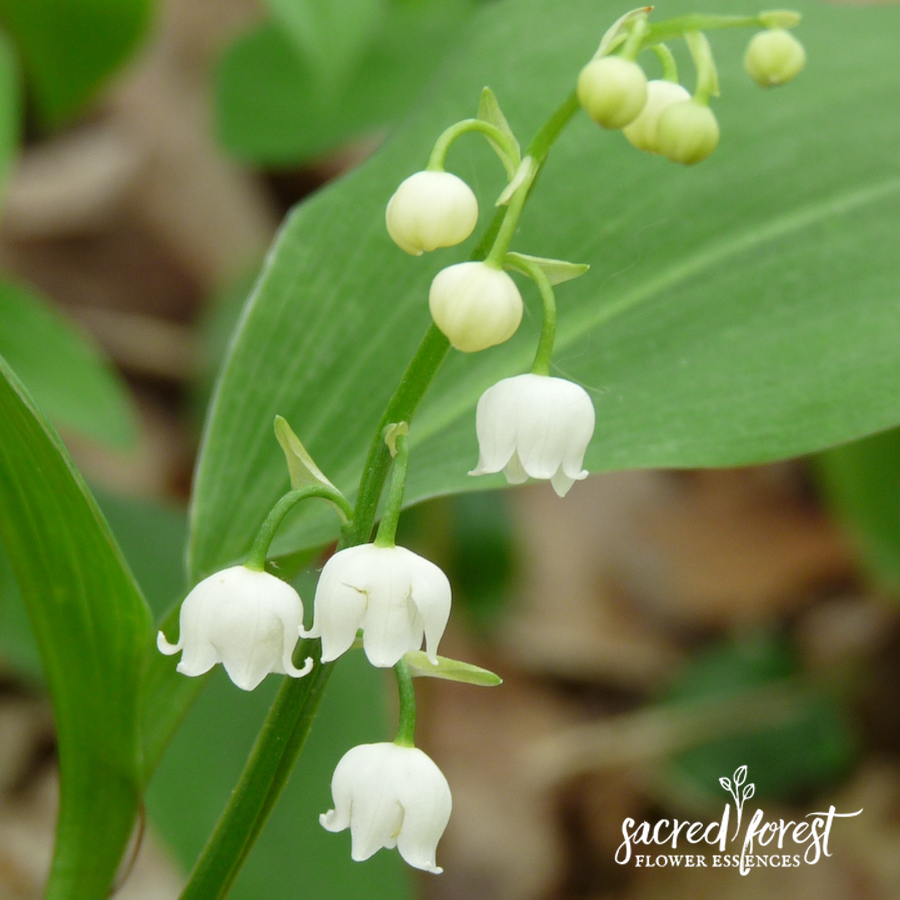 Lily Of The Valley Flower Essence Grandparents Of The Forest