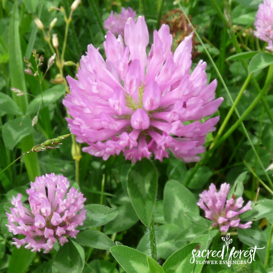 Red Clover Flower Essence Grandparents Of The Forest