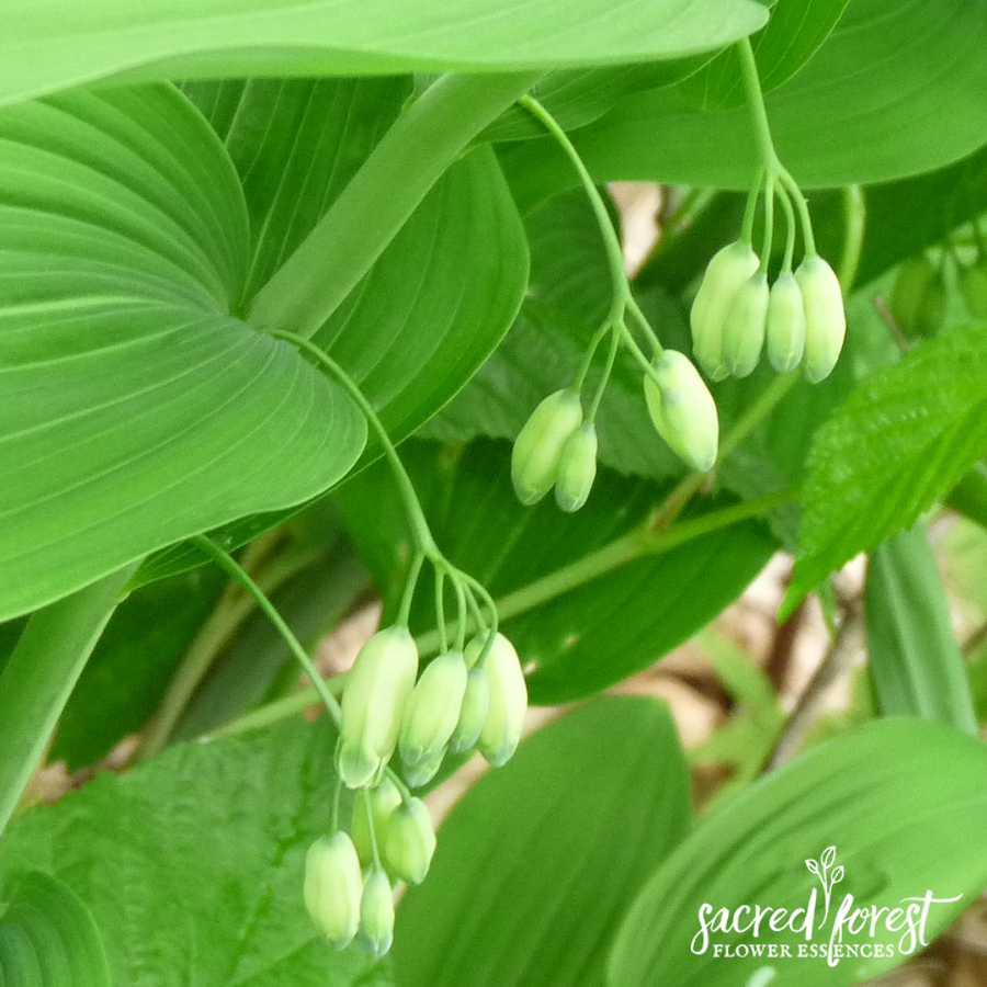 Solomon's Seal Flower
