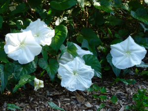 Moonflowers