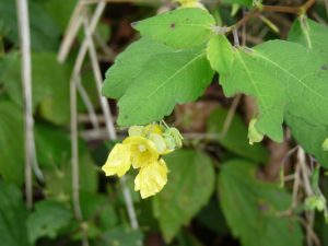 Pale Jewelweed Flower
