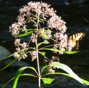 joe-pye-yellow-swallowtail
